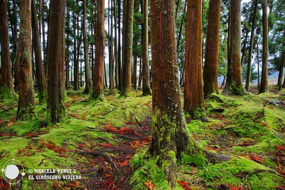 Bosques frondosos de São Miguel