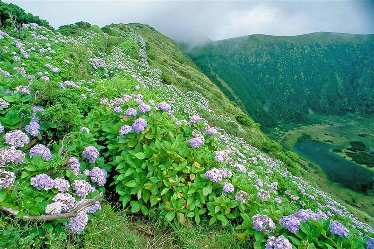 La isla de Faial llena de hortensias