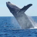 Avistamiento de ballenas en Isla Terceira